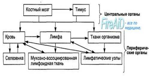 Иммунная система организма