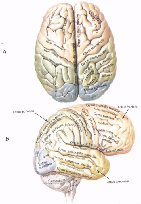Мозг большой фото