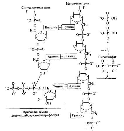 принципы репликации ДНК