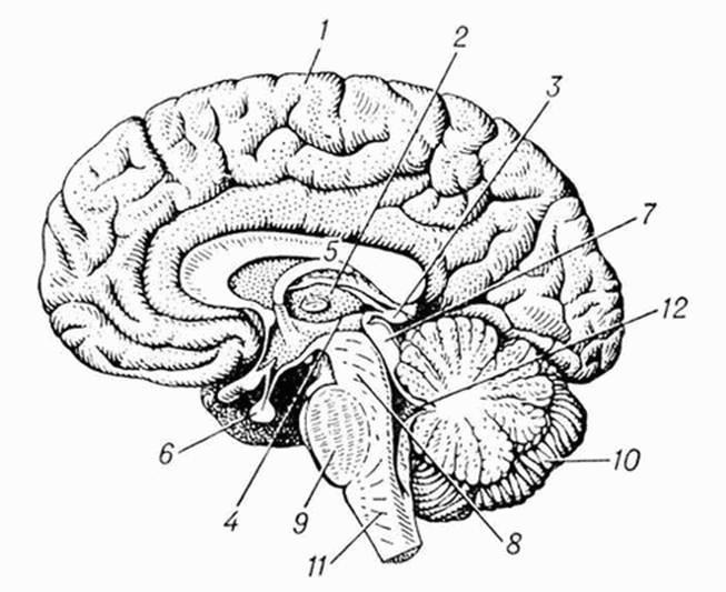 Головной мозг человека (fb2)