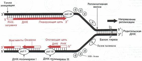 Репликация объяснение (ДНК в